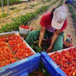 إسبانيا ترغب في تشغيل 16ألف مغربية بحقول الفراولة